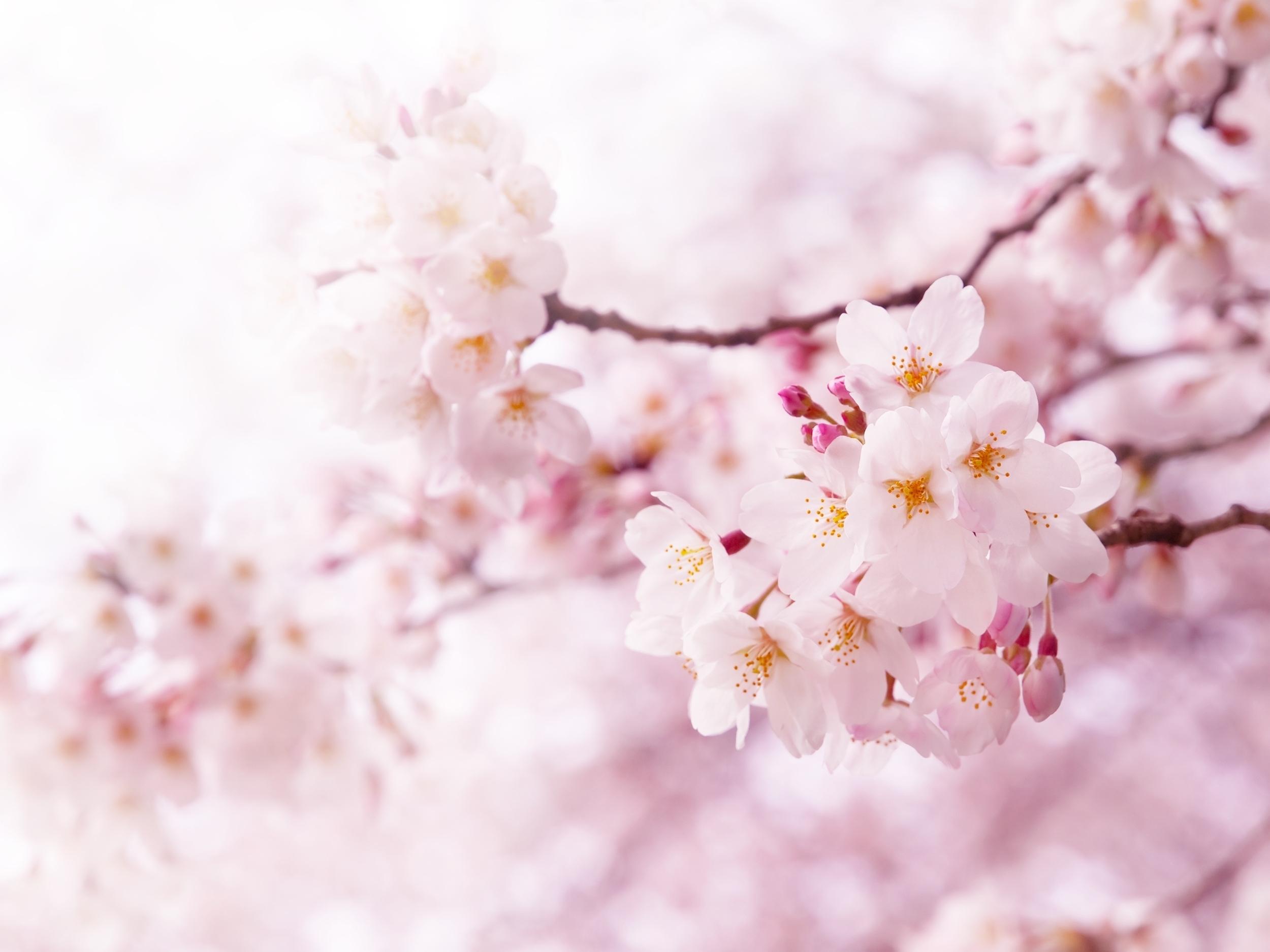 Bigstock Cherry Blossoms In Full Bloom 19431392
